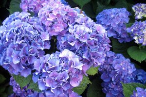 We need potted Hydrangeas For Easter Environment!